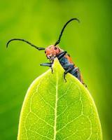 scarabée asclépiade
