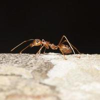 fourmi orange pour motif photo