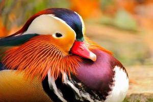 canard mandarin photo