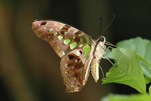 Geai vert à queue - graphium agamemnon (singapour butterfly)