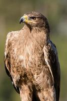 portrait d'aigle fauve photo