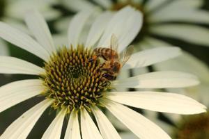 "échinacée blanche - ""échinacée blanche"" - echinacea purpurea cygne blanc photo"