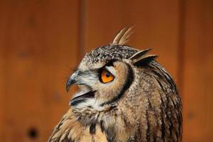 Chouette indienne (bubo bengalensis). photo