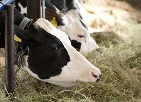 manger la vache photo