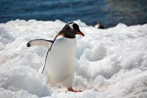 gentoo pingouin se dirige vers la ville photo