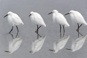 aigrettes neigeuses marchant sur la plage (nouvelle soumission du 22479563) photo