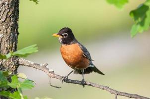 Robin perché sur une branche photo