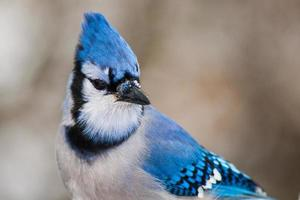 geai bleu photo