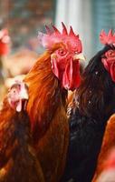 Coq sur une ferme avicole traditionnelle en libre parcours