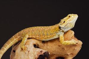 dragon barbu central phase jaune