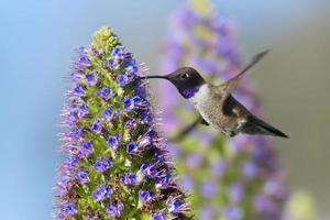 colibri à menton noir photo