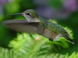 colibri calliope photo