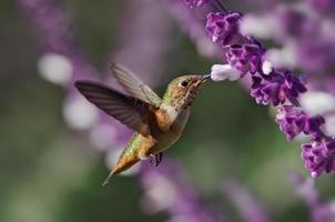 hummingbrid photo