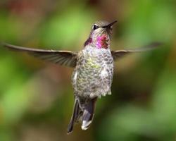 colibri photo