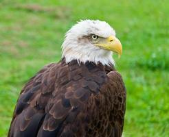 águila calva - pygargue à tête blanche photo
