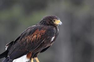 Profil de faucon de harris photo