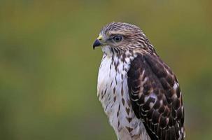gros plan de faucon à ailes larges photo