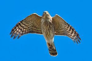 faucon brillant photo