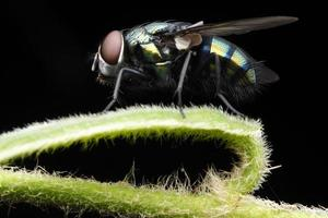 mouche domestique photo