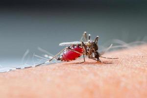 moustique sucer blood_set b-2 photo
