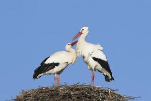 paire de cigognes blanches photo
