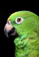 perroquet amazone photo