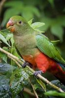 perroquet roi australien photo