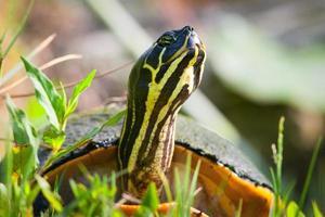 Floride tortue à ventre rouge