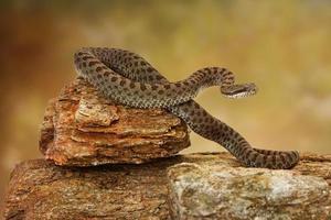serpent à sonnettes à deux points sur le dessus de la roche
