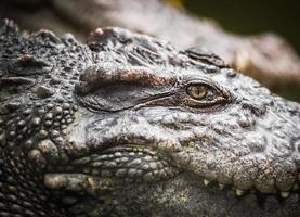 oeil de crocodile photo