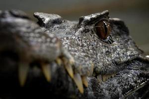 oeil de crocodile