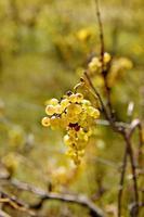 vigne à la fin de l'automne photo
