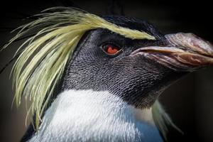 pingouin rockhopper