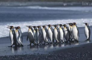pingouins royaux photo