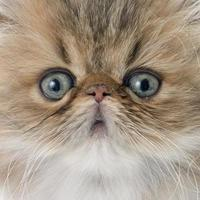 chaton persan photo