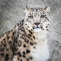 léopard des neiges xiv photo