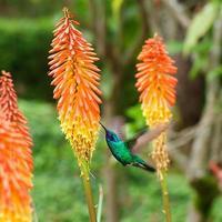 beau colibri bleu vert volant photo