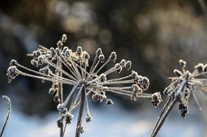 herbe gelée photo