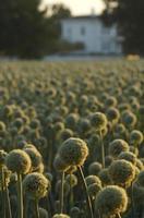 récolte de graines d'oignon photo