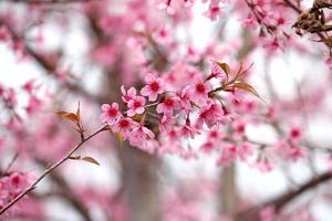 lao sakura en saison d'hiver photo