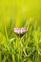 Marguerite de fleur dans l'herbe photo