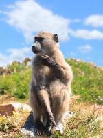 babouin photo
