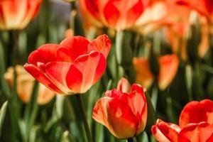 mélange de tulipes rouges et jaunes photo