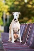 adorable chien whippet posant à l'extérieur photo