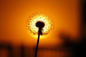 pissenlit au coucher du soleil