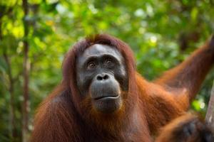 orang-outan femelle. photo
