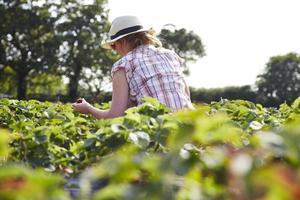 femme, cueillette, fraises, champ photo