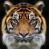 visage de tigre sur fond noir photo