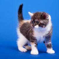 chat de race écossaise photo