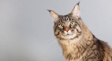 chat maine coon sur gris photo